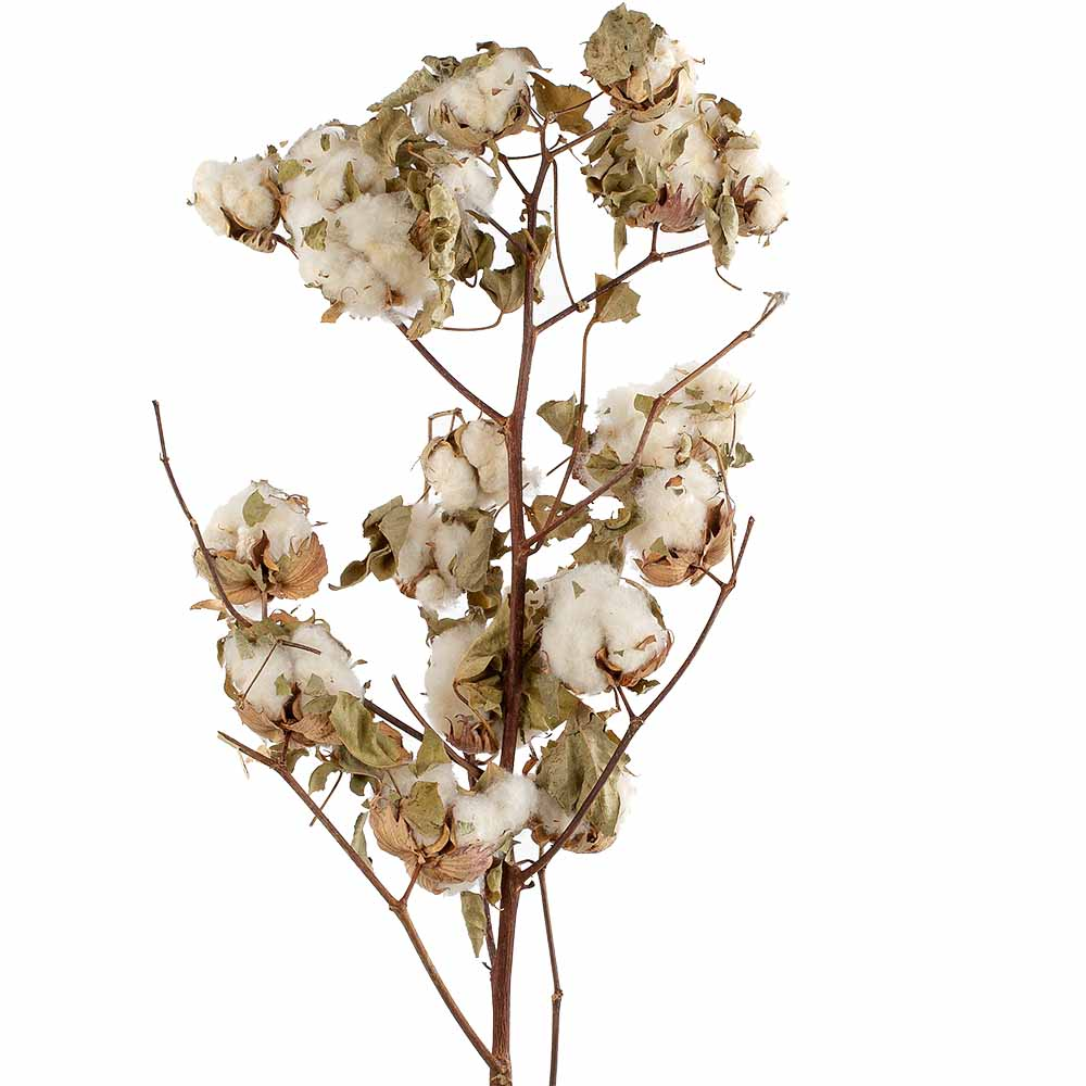 NATURAL COTTON STALK