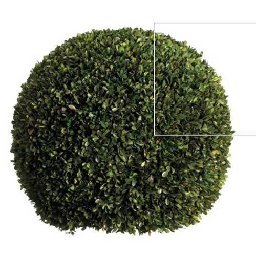 "23"" PRESERVED BOXWOOD BALL"