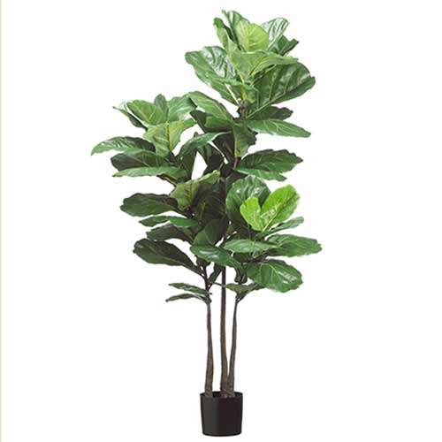 "70"" Fiddle Leaf Plant x3 with 53      Leaves in P"