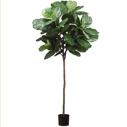 7' Fiddle Leaf Tree with 61 Leaves in Pot Green.