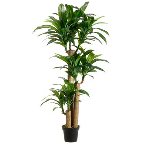 5' Tropical Dracaena Tree x3 with 7   Heads in Po